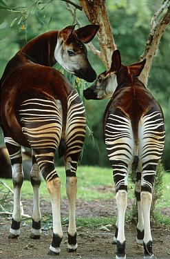 Okapi (Okapia johnstoni) parent with young, native to tropical forests of northern Congo  -  Konrad Wothe
