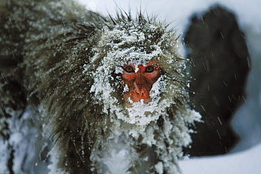 Japanese Macaque (Macaca fuscata) covered in snow, Japanese Alps near Nagano, Japan  -  Konrad Wothe
