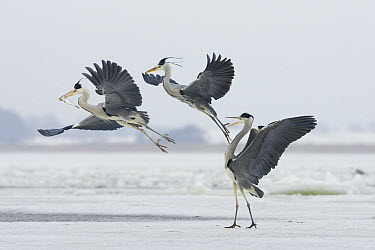 Grey Heron (Ardea cinerea) trio fighting over fish, Usedom, Germany  -  Konrad Wothe