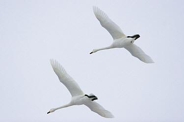 Whooper Swan (Cygnus cygnus) pair flying, Germany  -  Konrad Wothe