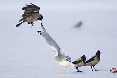 Hooded Crow (Corvus cornix) teasing a Herring Gull (Larus argentatus), Germany  -  Konrad Wothe
