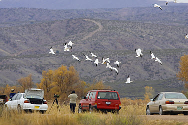 Snow Goose (Chen caerulescens) flock flying overhead while photographers capture image, Bosque del Apache National Wildlife Refuge, New Mexico  -  Konrad Wothe
