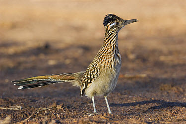 Greater Roadrunner (Geococcyx californianus) profile, New Mexico  -  Konrad Wothe