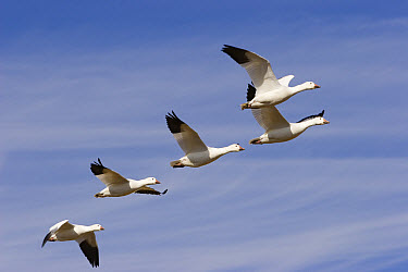 Snow Goose (Chen caerulescens) flock flying overhead, Bosque del Apache National Wildlife Refuge, New Mexico  -  Konrad Wothe