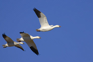 Snow Goose (Chen caerulescens) trio flying, Bosque del Apache National Wildlife Refuge, New Mexico  -  Konrad Wothe