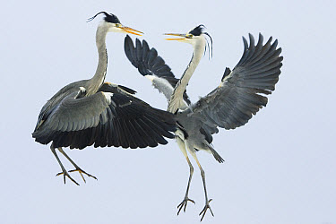 Grey Heron (Ardea cinerea) pair fighting over a fish, Usedom, Germany  -  Konrad Wothe