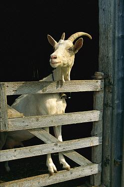 Goat (Capra sp) standing on gate, Europe  -  Konrad Wothe