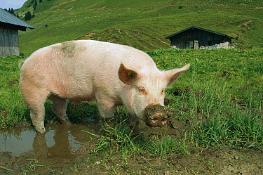Domestic Pig (Sus scrofa domesticus) in puddle with muddy snout, Germany  -  Konrad Wothe