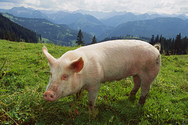 Domestic Pig (Sus scrofa domesticus) on grassy lawn, Germany  -  Konrad Wothe