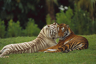 Bengal Tiger (Panthera tigris tigris) affectionate pair, one with normal coloration and the other a melanistic white morph, India  -  Konrad Wothe