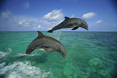 Bottlenose Dolphin (Tursiops truncatus) pair leaping, Honduras  -  Konrad Wothe