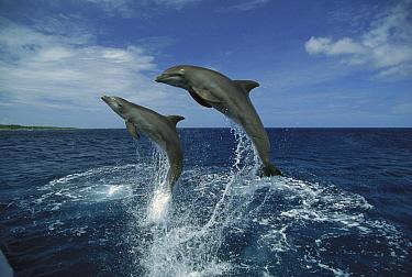 Bottlenose Dolphin (Tursiops truncatus) pair leaping, Honduras  -  Konrad Wothe