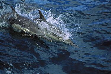 Spinner Dolphin (Stenella longirostris) pair porpoising through ocean, Honduras  -  Konrad Wothe