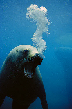 California Sea Lion (Zalophus californianus) with mouth open in threat display blowing bubbles, North America  -  Konrad Wothe