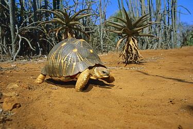 Radiated Tortoise (Geochelone radiata) walking through spiny desert habitat, vulnerable species, southern Madagascar  -  Konrad Wothe