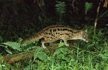 Striped Civet (Fossa fossana) foraging at night, vulnerable species, Madagascar  -  Konrad Wothe