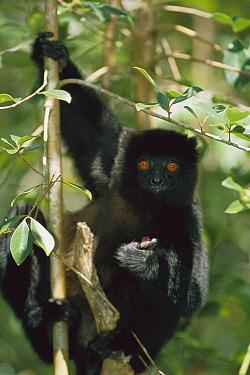 Milne-edward's Sifaka (Propithecus diadema edwardsi) eating in tree, Madagascar  -  Konrad Wothe