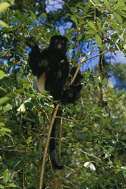 Milne-edward's Sifaka (Propithecus diadema edwardsi) in tree, Madagascar  -  Konrad Wothe