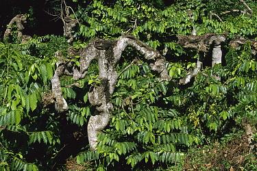 Ylang-ylang (Cananga odorata) tree, Madagascar  -  Konrad Wothe