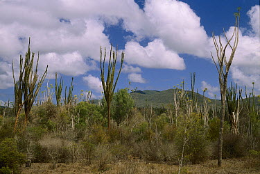 Spiny Desert near Fort Dauphin, Madagascar  -  Konrad Wothe