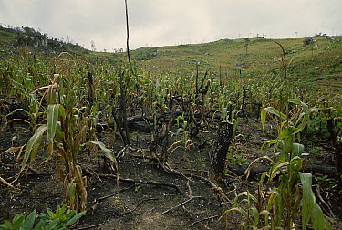 Maize (Zea mays) field, one year after forest was cleared using slash and burn agricultural techniques, Madagascar  -  Konrad Wothe