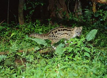 Striped Civet (Fossa fossana) at night, vulnerable species, Madagascar  -  Konrad Wothe