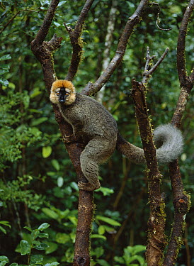 Red-fronted Brown Lemur (Eulemur fulvus rufus) male, Ranomafana National Park, Madagascar  -  Konrad Wothe