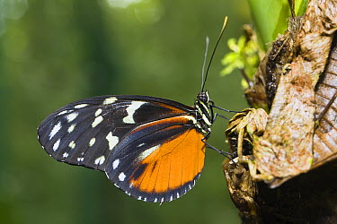 Tiger Longwing (Heliconius hecale) butterfly portrait, Costa Rica  -  Konrad Wothe