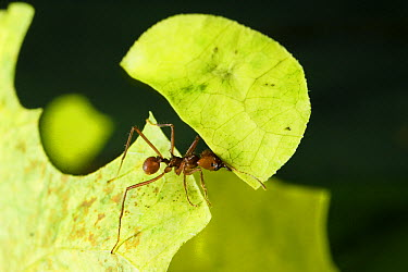 Leafcutter Ant (Atta cephalotes) ant carrying freshly cut leaf, Costa Rica  -  Konrad Wothe
