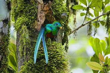 Resplendent Quetzal (Pharomachrus mocinno) male looking out of nest, Costa Rica  -  Konrad Wothe