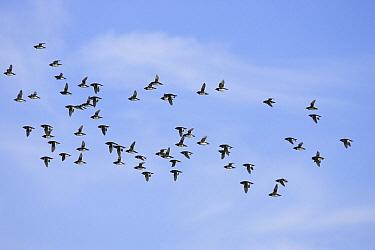 Little Auk (Alle alle) flock flying, Spitsbergen, Norway  -  Konrad Wothe
