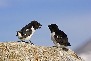 Little Auk (Alle alle) pair, Spitsbergen, Norway  -  Konrad Wothe