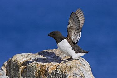 Little Auk (Alle alle) stretching wings, Spitsbergen, Norway  -  Konrad Wothe