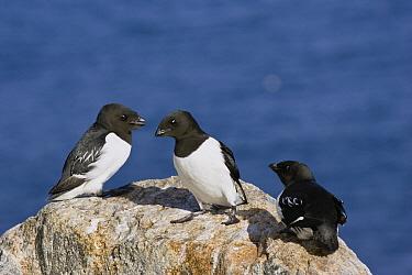 Little Auk (Alle alle) trio, Spitsbergen, Norway  -  Konrad Wothe