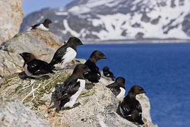 Little Auk (Alle alle) group, Spitsbergen, Norway  -  Konrad Wothe