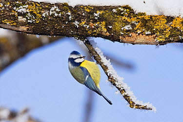 Blue Tit (Cyanistes caeruleus) foraging in winter, Bavaria, Germany  -  Konrad Wothe