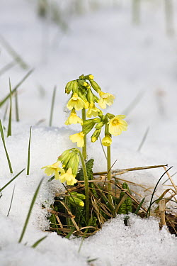 Oxlip (Primula elatior) in snow, Germany  -  Konrad Wothe