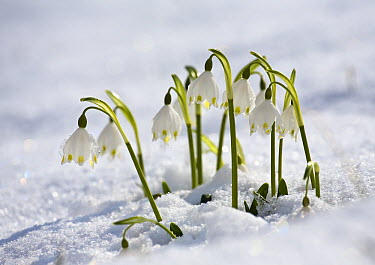 Spring Snowflake (Leucojum vernum) in snow, Bavaria, Germany  -  Konrad Wothe