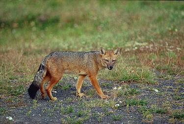 Andean Red Fox (Pseudalopex culpaeus), Torres del Paine National Park, Chile  -  Konrad Wothe