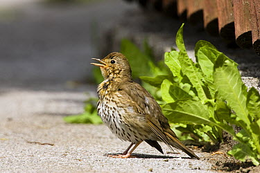Song Thrush (Turdus philomelos) singing, Germany  -  Konrad Wothe