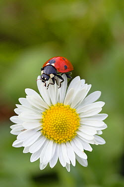 Seven-spotted Ladybird (Coccinella septempunctata) on Common Daisy (Bellis perennis), Germany  -  Konrad Wothe
