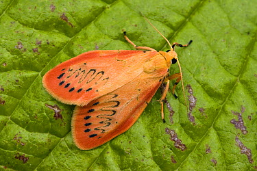 Rosy Footman (Miltochrista miniata) on leaf, Bavaria, Germany  -  Konrad Wothe