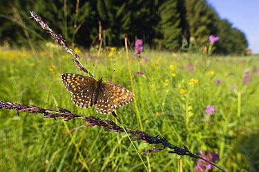False Heath Fritillary (Melitaea diamina) in blooming meadow, Bavaria, Germany  -  Konrad Wothe