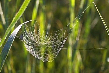 Spider web sagging under the weight of dew, Bavaria, Germany  -  Konrad Wothe