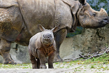 Indian Rhinoceros (Rhinoceros unicornis) calf with mother, native to India  -  Konrad Wothe