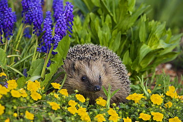 Brown-breasted Hedgehog (Erinaceus europaeus) in spring flowers, Bavaria, Germany  -  Konrad Wothe