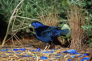 Satin Bowerbird (Ptilonorhynchus violaceus) male amidst blue ornaments with female in bower, Victoria, Australia  -  Konrad Wothe