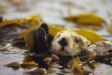 Sea Otter (Enhydra lutris) floating in kelp bed, northern Pacific Ocean