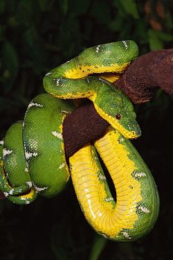 Emerald Tree Boa (Corallus caninus) hanging on tree branch, Amazon, Peru