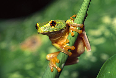 Dainty Tree Frog (Litoria gracilenta) wet tropical climate, northeastern Australia  -  Gerry Ellis